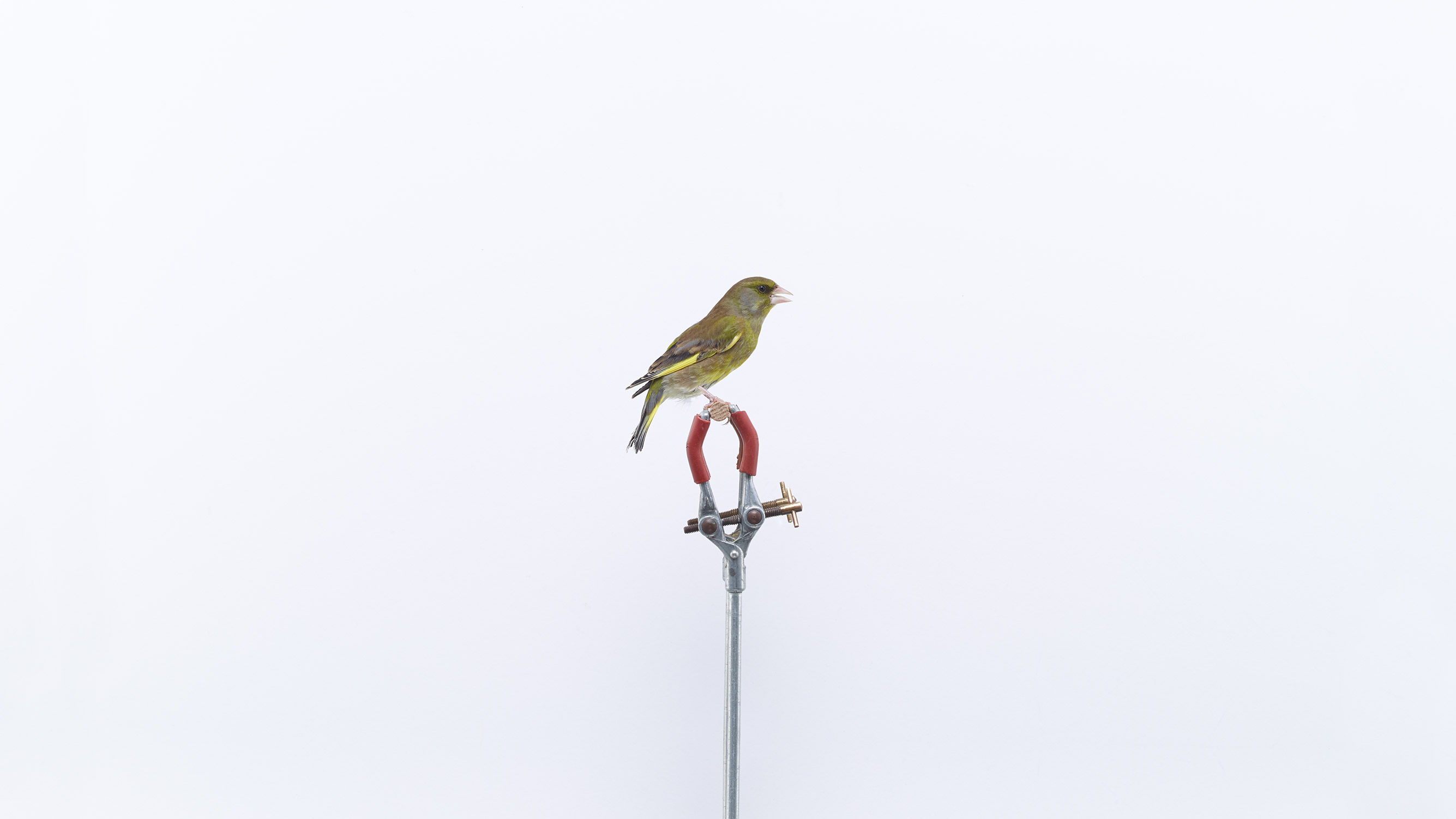 Browns Editions London Garden Birds, Greenfinch by Jonathan Ellery