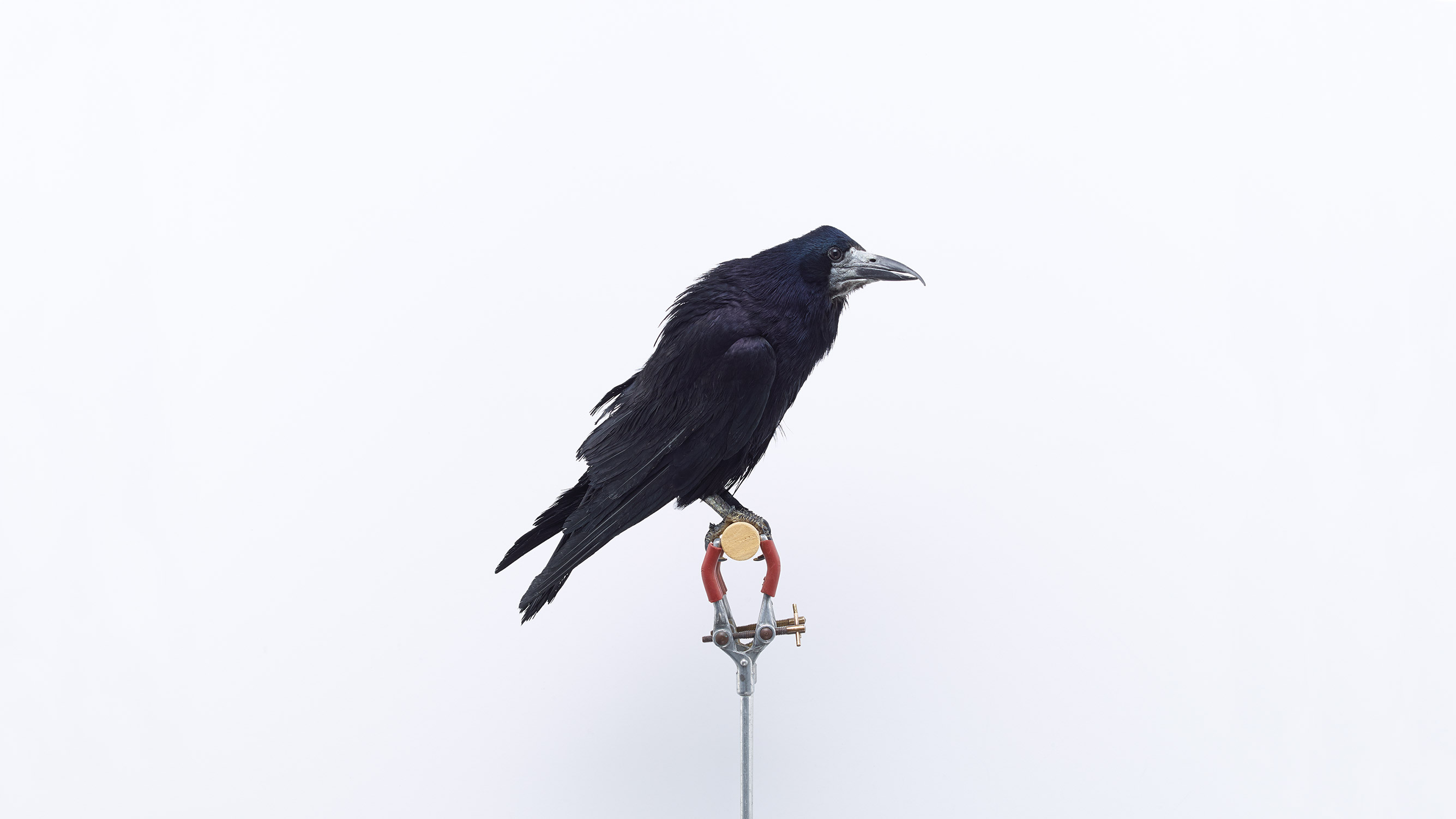 Browns Editions London Garden Birds, Rook by Jonathan Ellery