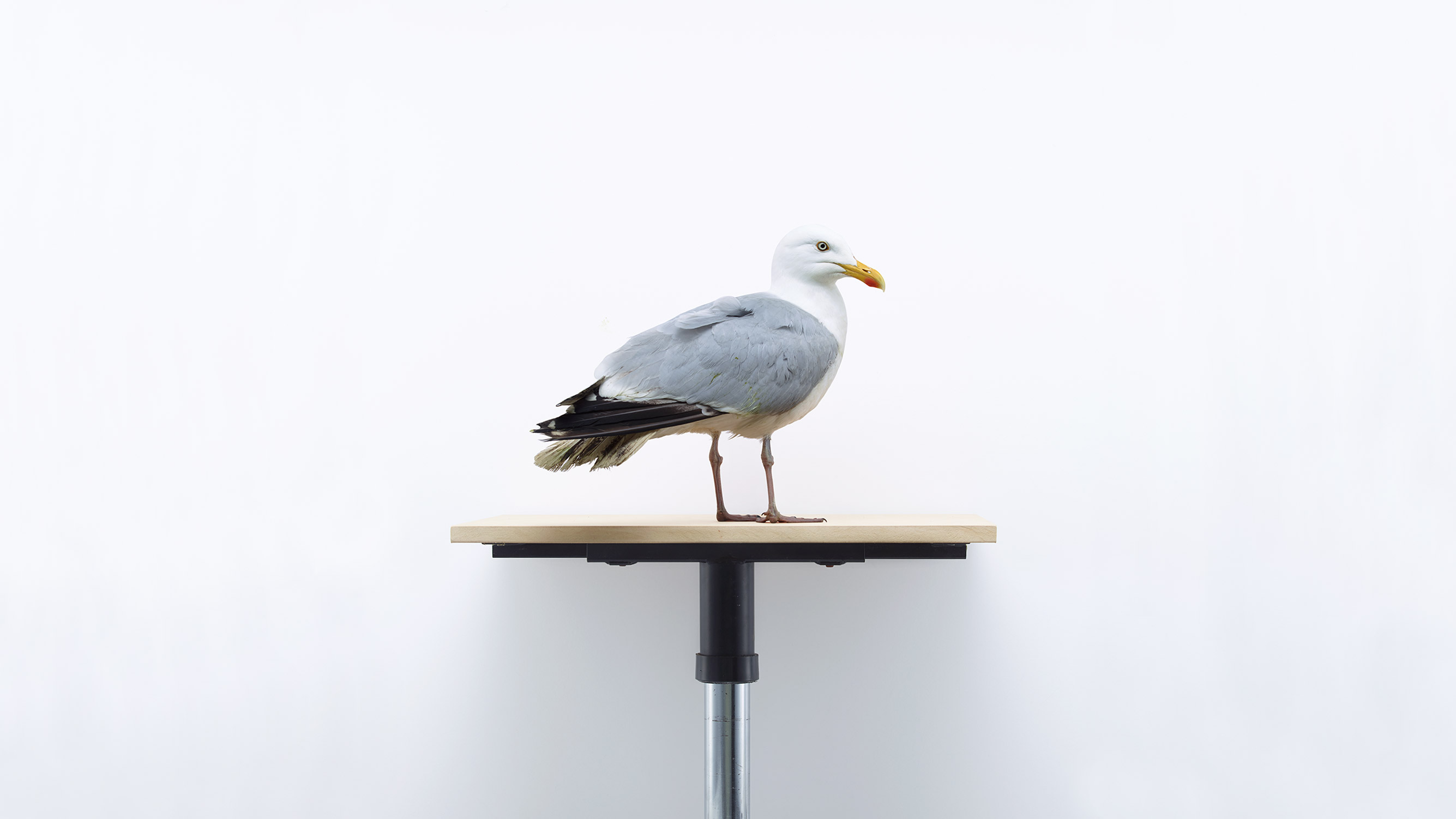 Browns Editions London Garden Birds, Seagull by Jonathan Ellery