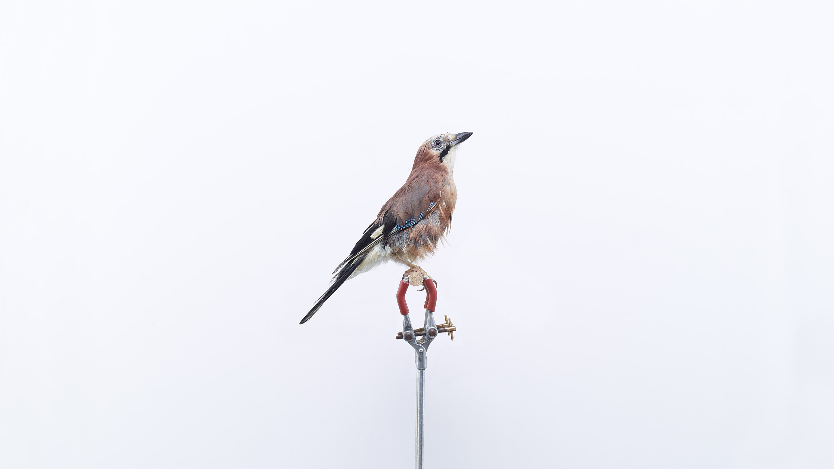 Browns Editions London Garden Birds, Jay by Jonathan Ellery