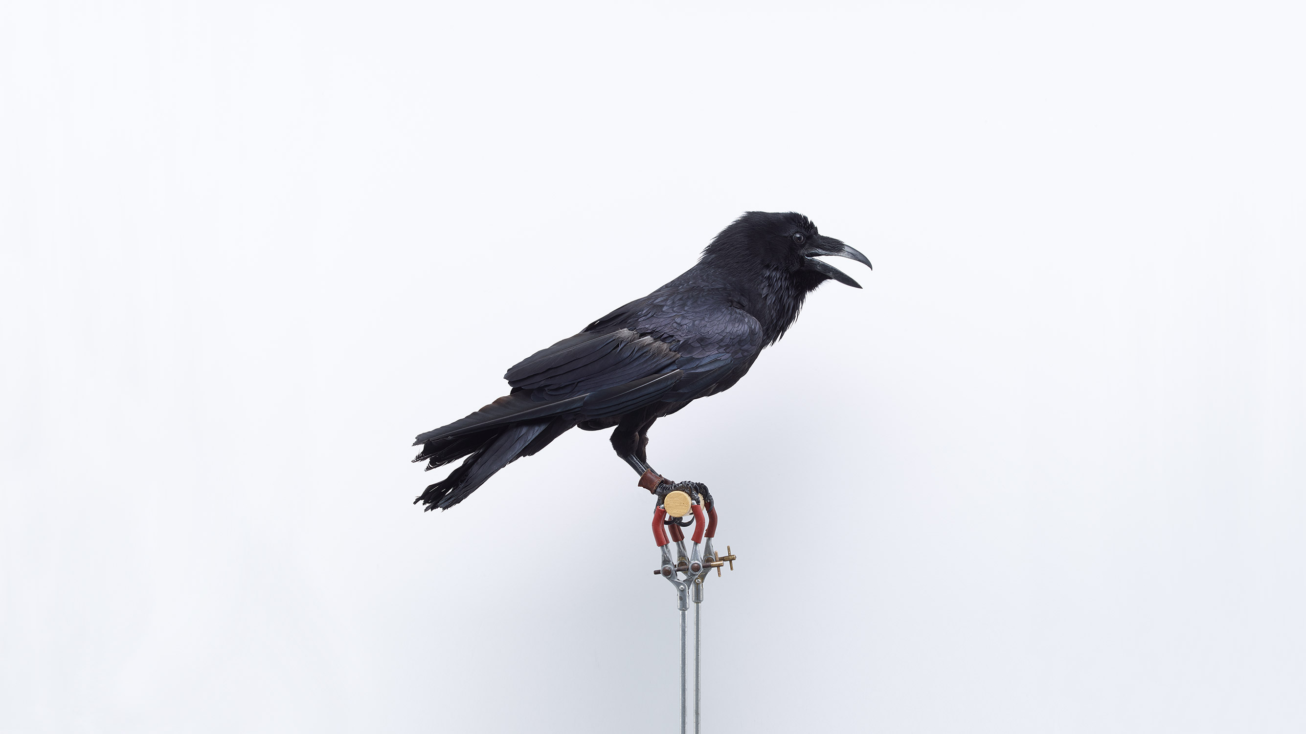 Browns Editions London Garden Birds, Raven by Jonathan Ellery